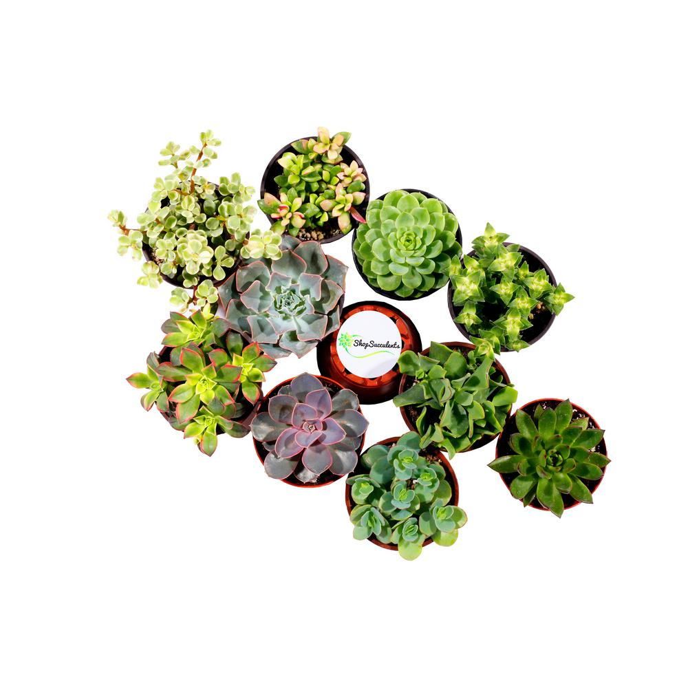 Shop Succulents 4 in. Rosette Succulent Collection Succul...
