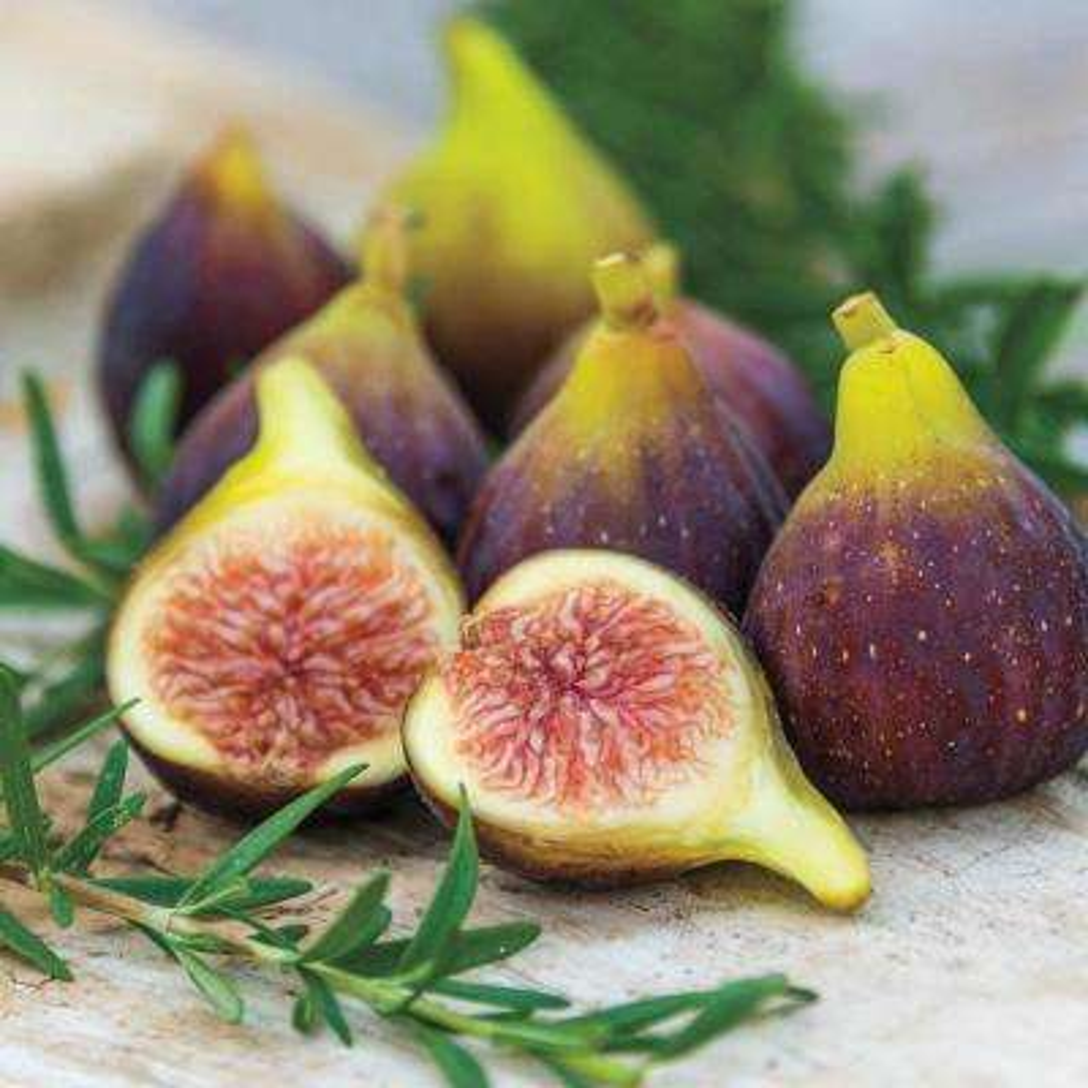 2.50 Qt. Pot Fantasia Fig (Fagus), Live Fruiting Plant (1-Pack)