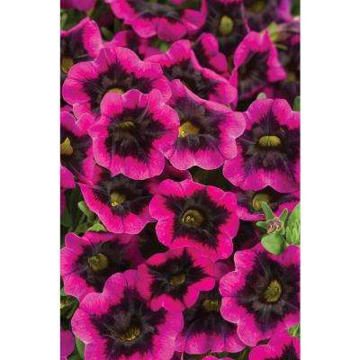 4-Pack, 4.25 in. Grande Superbells Blackcurrant Punch (Calibrachoa) Live Plant, Pink-Purple Flowers