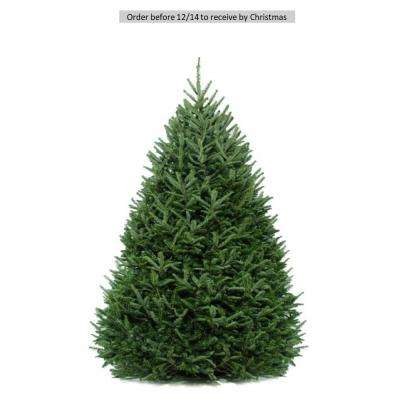 6 Ft To 5 Freshly Cut Fraser Fir Real Christmas Tree Live