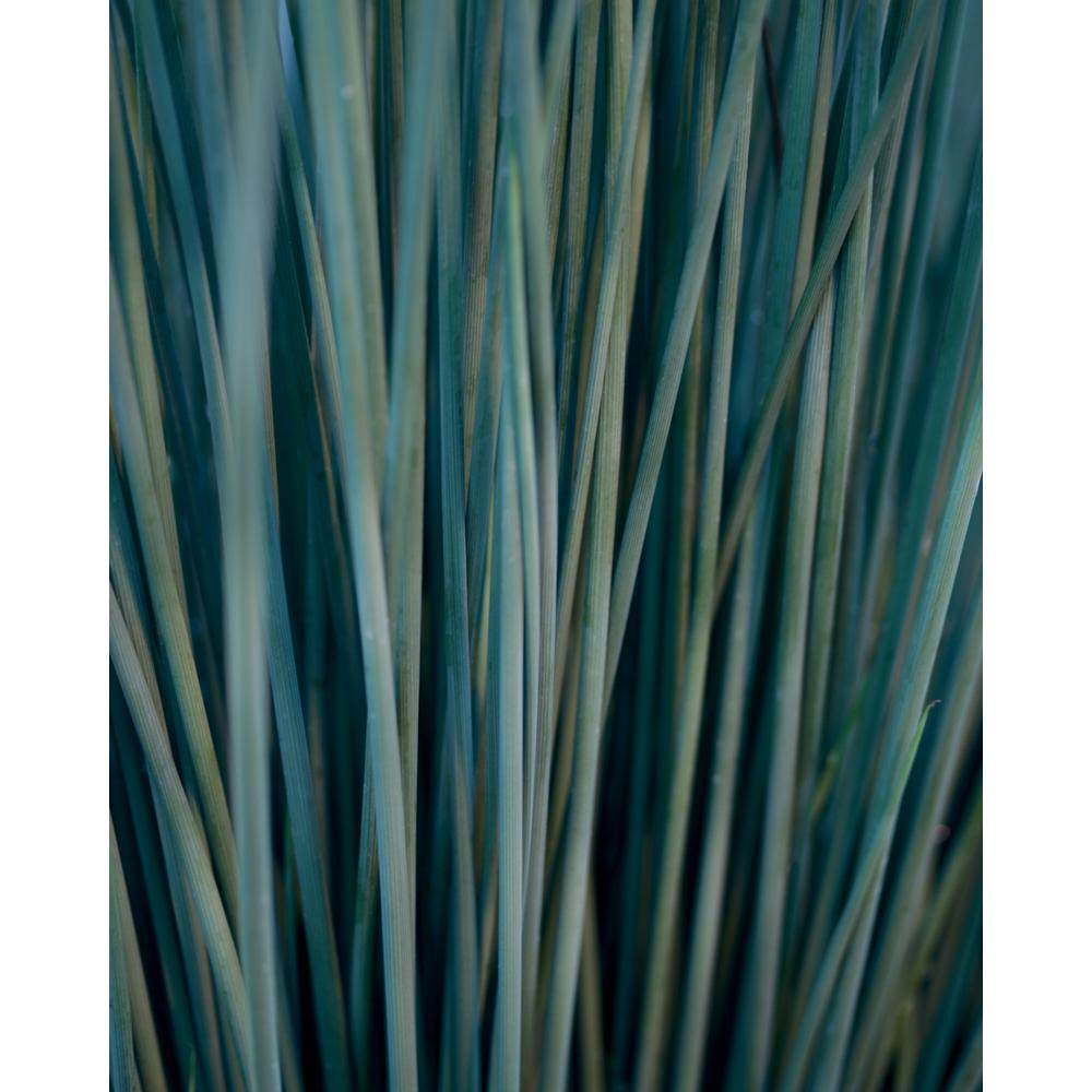 Proven Winners Proven Winners 4.5 in. Qt. Graceful Grasses Blue Mohawk Soft Rush (Juncus) Live Plant, Blue-Green Foliage