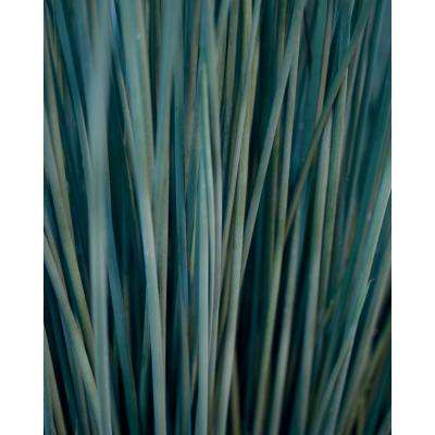 Graceful Grasses Blue Mohawk Soft Rush (Juncus) Live Plant, Blue Green  Foliage