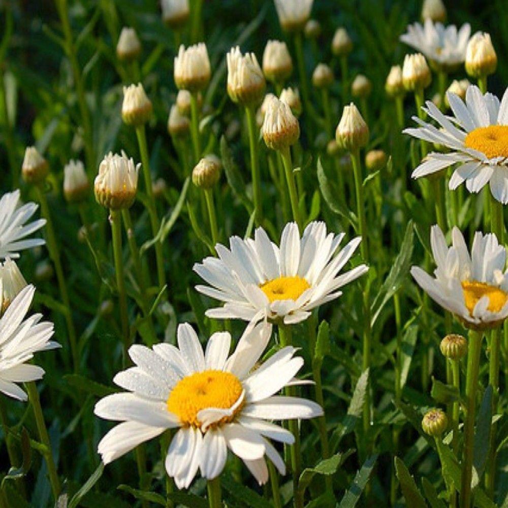 Onlineplantcenter 1 Gal Becky Shasta Daisy Plant L843cl