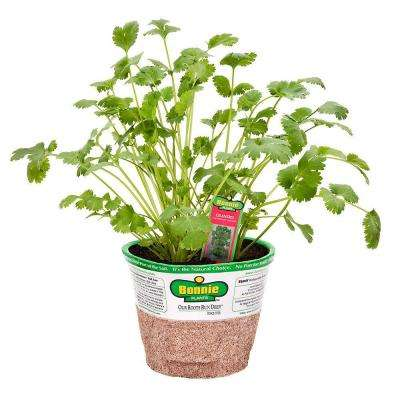 4 in. 14.6 oz. Organic Cilantro