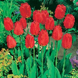 Tulip Oxford Dormant Bulbs (80-Pack)