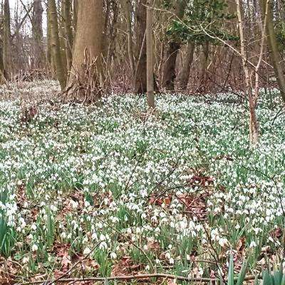 Single White Flowering Snowdrops Galianthus Bulbs (25-Pack)