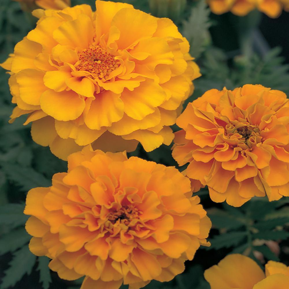 Costa Farms 2 45 Qt Orange Marigold Plant 12 Pack 12pkmaroraasrt The Home Depot