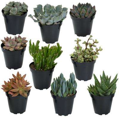 9CM Succulent Collection (9-Pack)