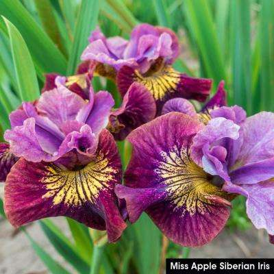 Miss Apple Siberian Iris Live Bareroot Perennial Plant Red Flowers (1-Pack)