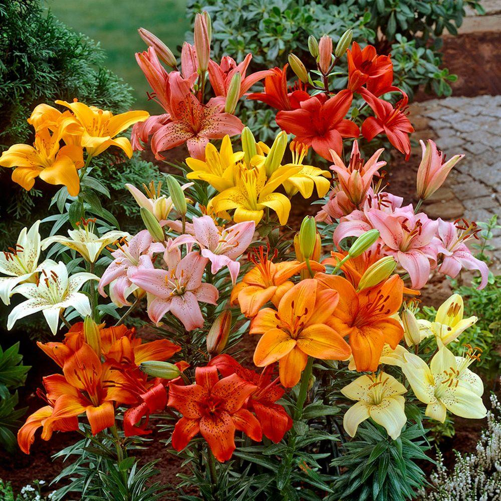 Bloomsz Asiatic Lily Bulbs Mixture (6-Pack)