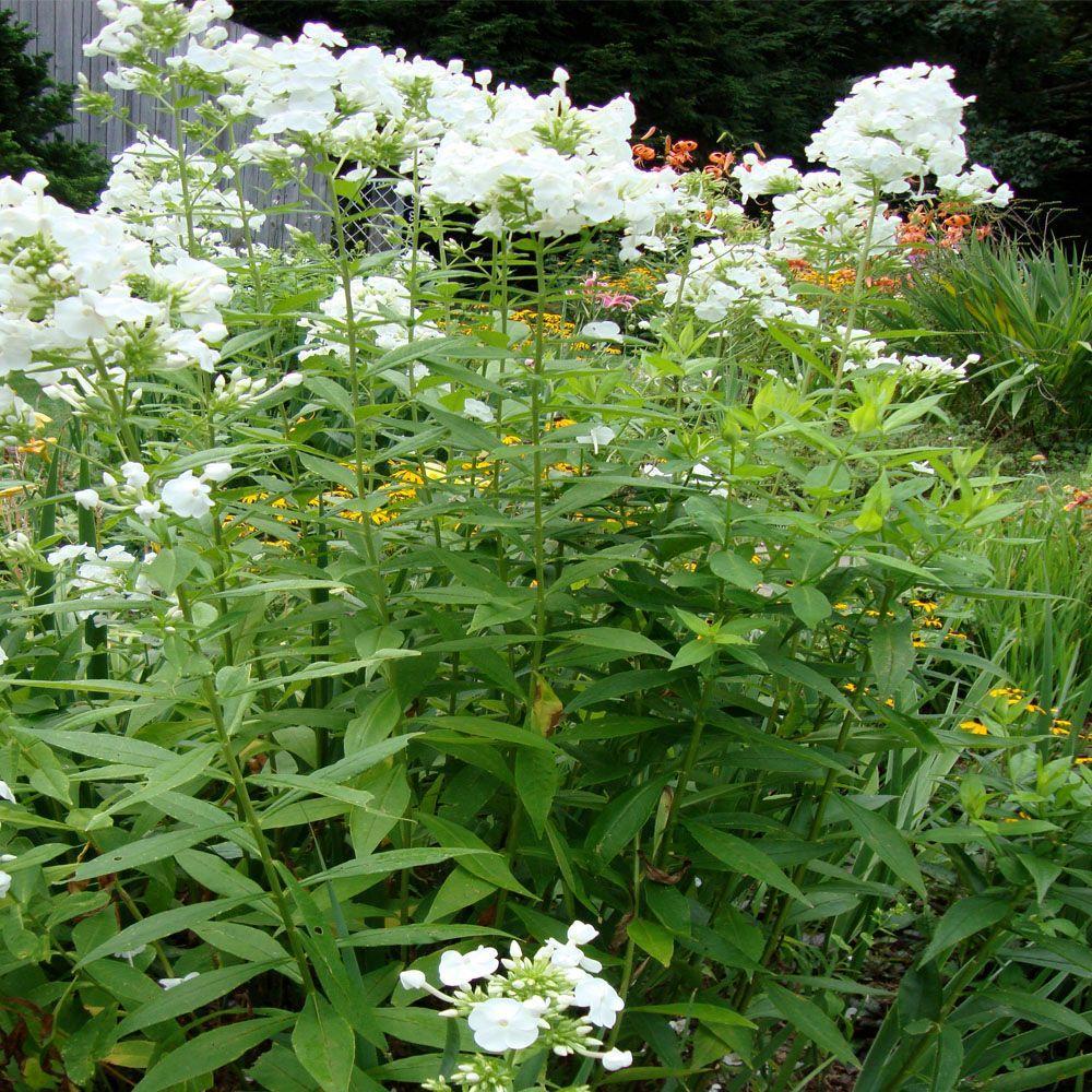 1 gal. David Garden or Woodland Phlox Plant