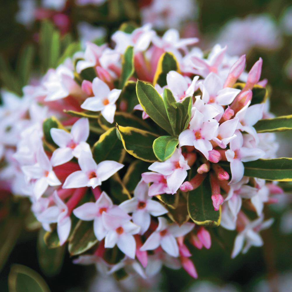 Spring Hill Nurseries Burkwood Viburnum Live Bareoon Plant White