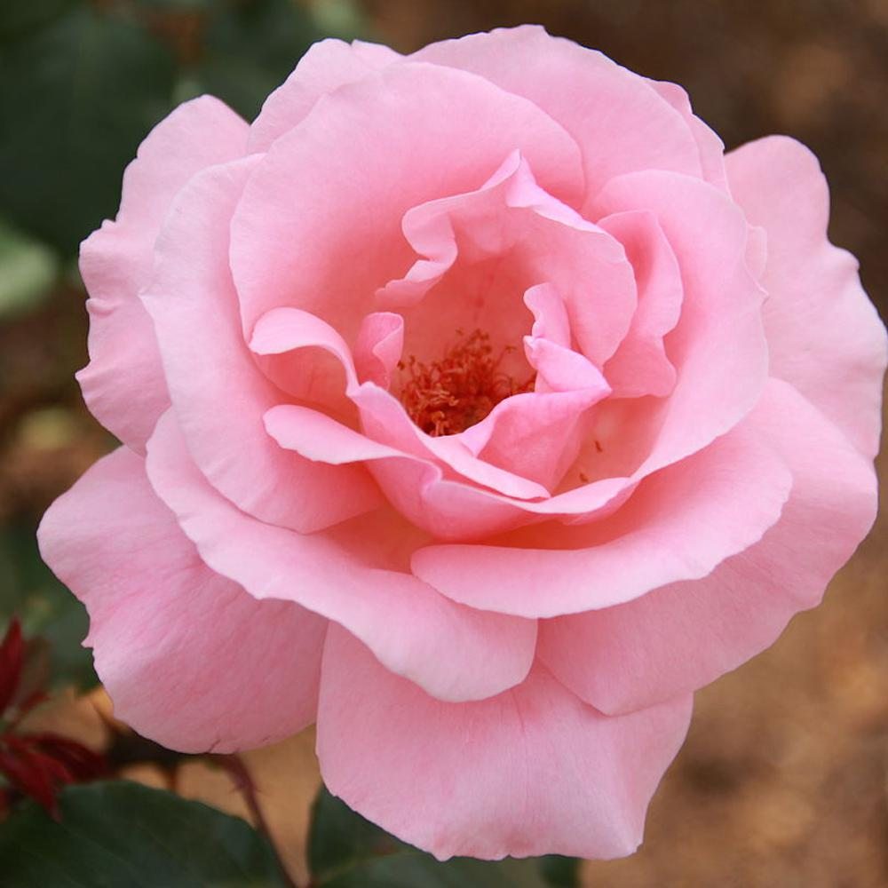 Mea Nursery All-Time Favorites QUEEN ELIZABETH Grandiflora Rose with Pink Flowers was $25.98 now $10.49 (60.0% off)