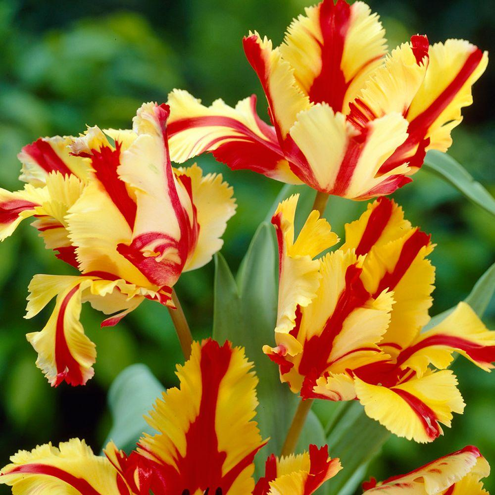 Bloomsz parrot tulip flaming parrot flower bulb 8 pack 07602 the bloomsz parrot tulip flaming parrot flower bulb 8 pack mightylinksfo