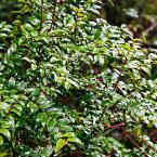 Huckleberry (Vaccinium) Live Fruiting Plant Grown in a 4 in. Pot (1-Pack)
