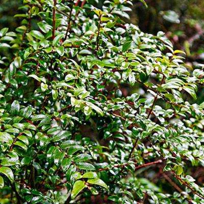 4 in. Pot Huckleberry Vaccinium Live Potted Fruiting Plant (1-Pack)