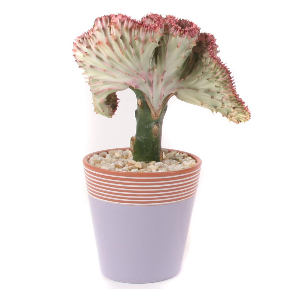 Coral Cactus Plant in 5 in. Purple Simple Elegance Ceramic
