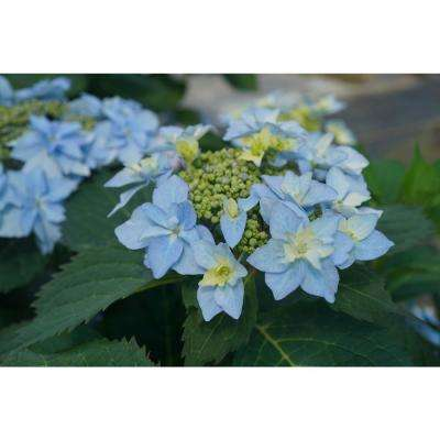1 Gal. Tuff Stuff Ah-Ha (Mountain Hydrangea) Live Shrub with Pink to Blue Flowers