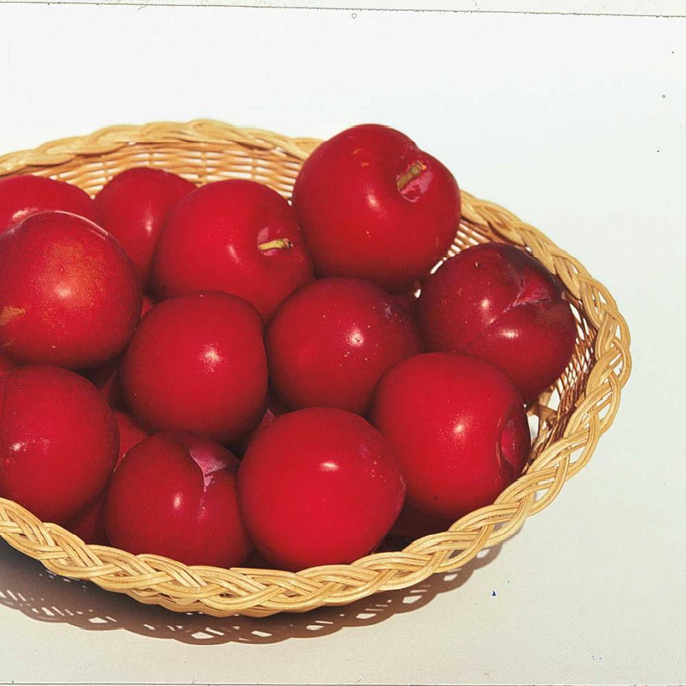 Superior Plum Prunus Live Fruiting Bareroot Tree (1-Pack)