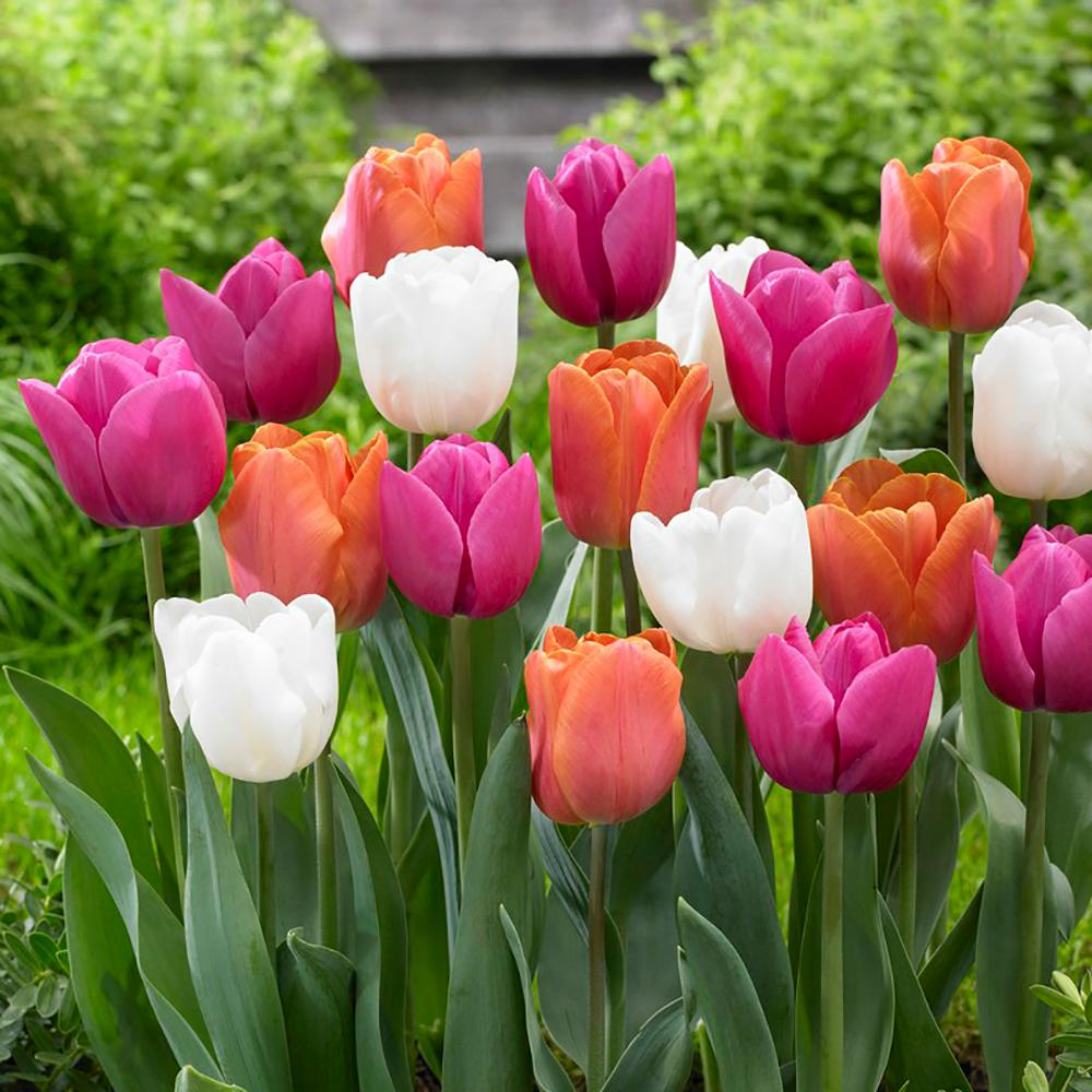 Garden State Bulb Tulip Party Mix Bulbs 50 Count