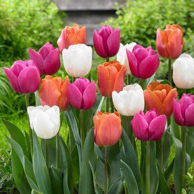 Tulip Garden Party Mix Bulbs (50-Count/Pack)