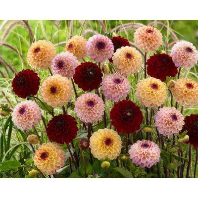 Dahlia Jill Mixed (Pack of 5)