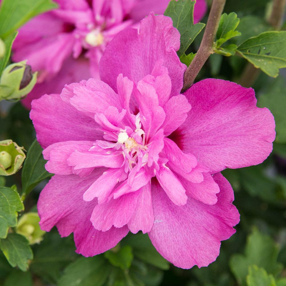 Spring Hill Nurseries Hot Pink Flowering Raspberry Smoothie Rose Of