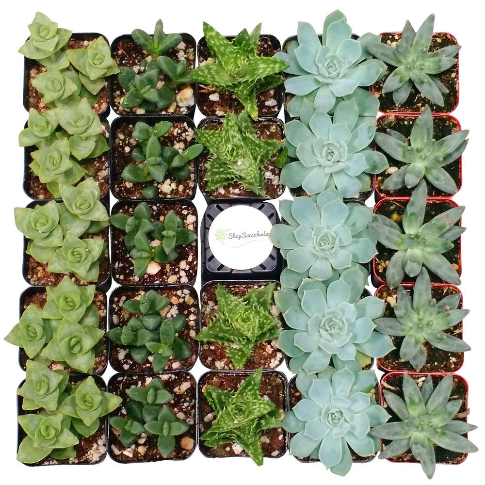 Shop Succulents 2 in. Blue/Green Collection Succulent (Co...