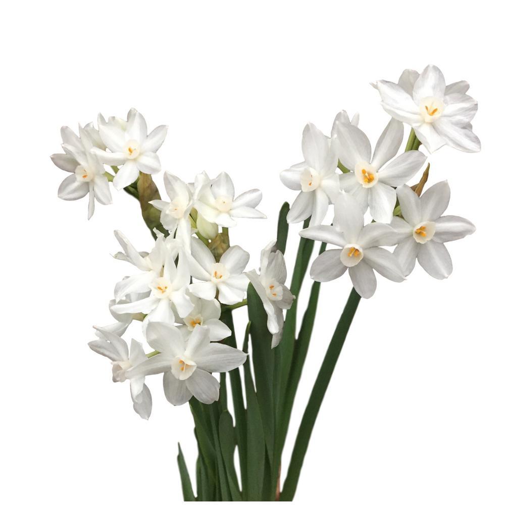 Daylily Nursery Ziva Paperwhites Narcissus 10-Bulbs