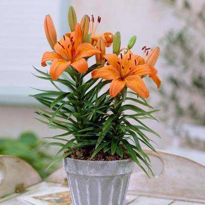 Container Lilies Orange Pixie Bulbs (7-Pack)