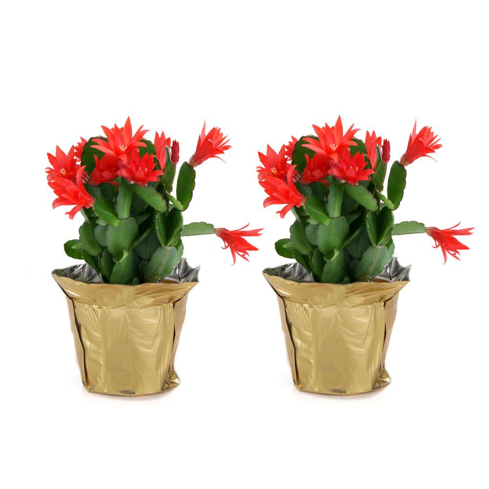 Costa Farms 4 in. Fresh Christmas Cactus Grower's Choice - Pink, Red or White (Live 2-Pack)