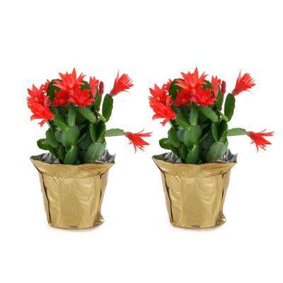 4 in. Fresh Christmas Cactus Grower's Choice - Pink, Red or White (Live 2-Pack)