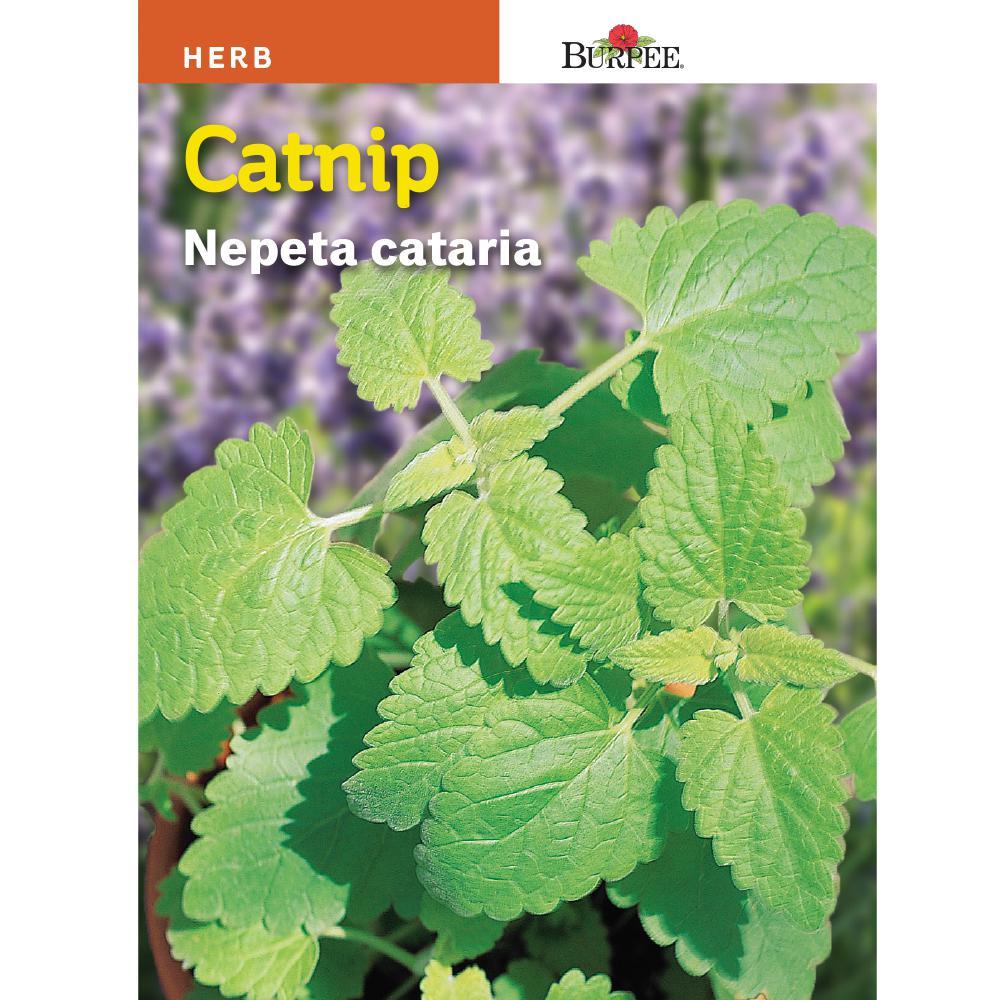 Herb Catnip Seed