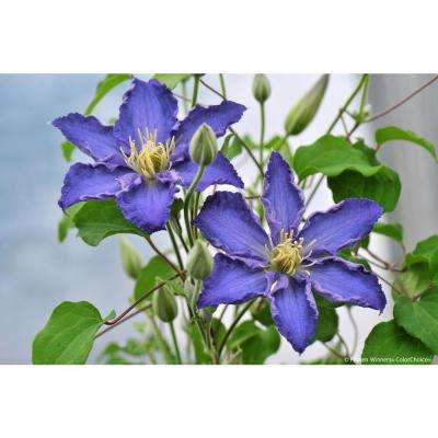 1 Gal. Brother Stefan (Clematis)Live Shrub, Blue Flowers