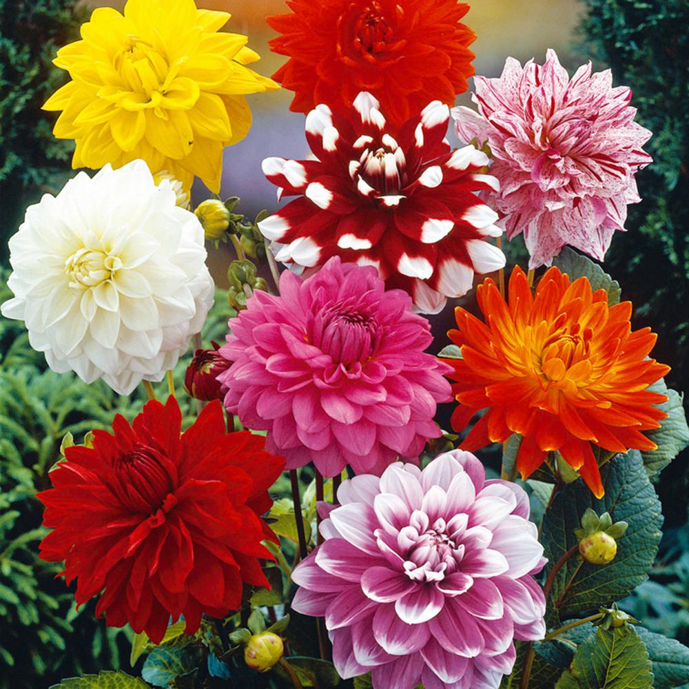 Van Zyverden Dahlias Decorative Mixed Bulbs Set Of 7 11218 The