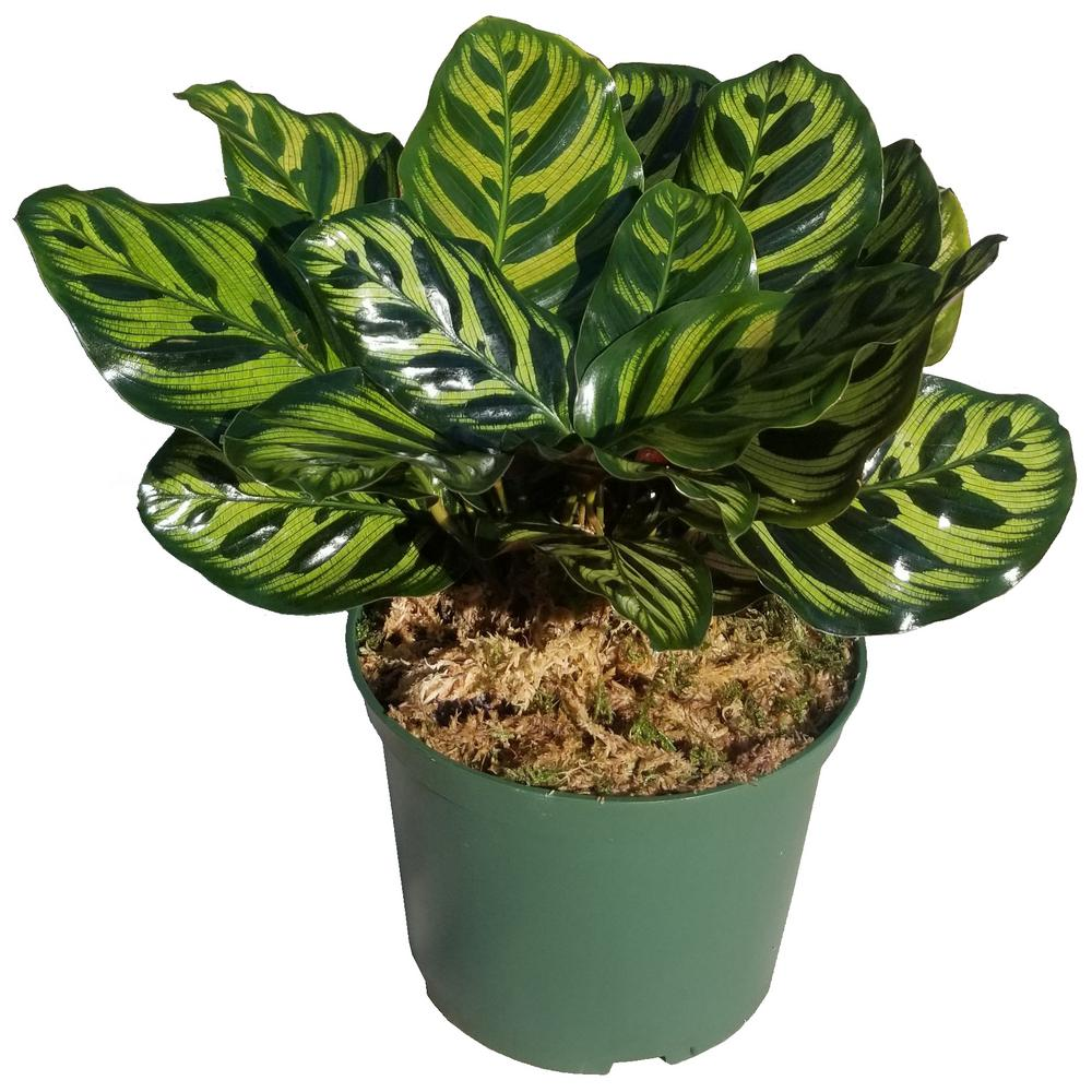 Peacock Plant in 6 in. Grower Pot