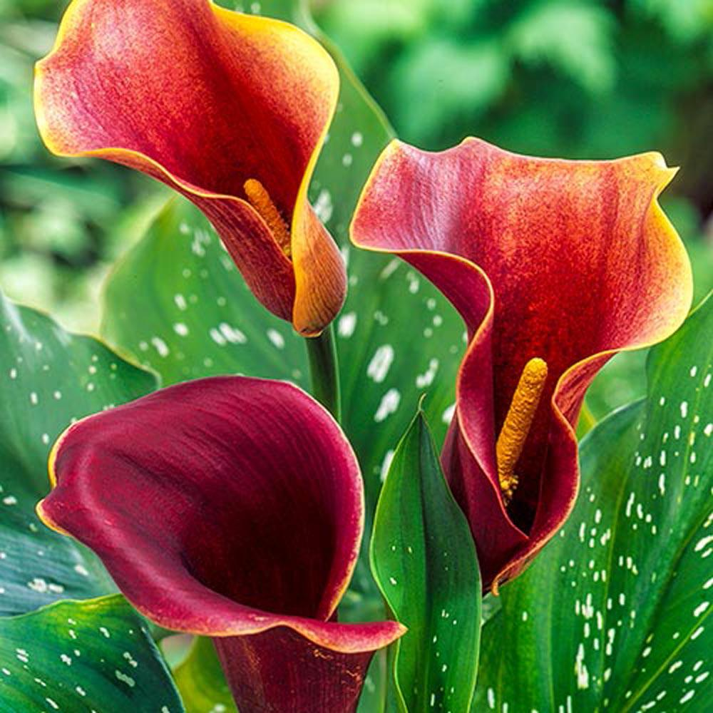 breck s purple haze calla lily bulb 1 pack 66875 the home depot