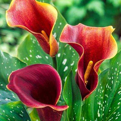 Purple Haze Calla Lily Bulb