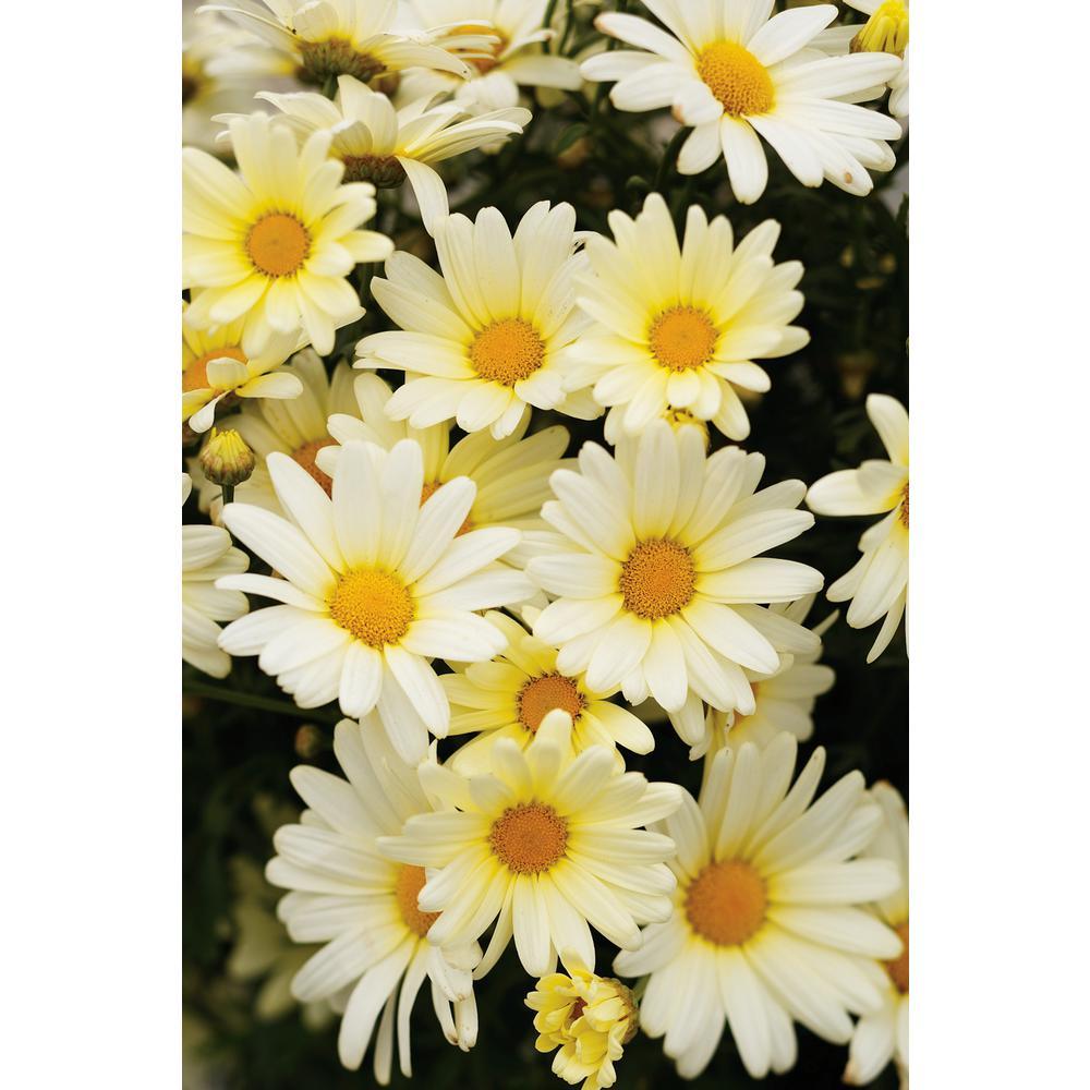 Vanilla Butterfly Marguerite Daisy (Argyranthemum) Live Plant Light Yellow Flowers 4.25 in. Grande (4-Pack)
