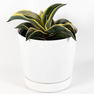 Ivory Curls Agave Succulent Live Plant Inside 8 in. White Contemporary Planter with Saucer