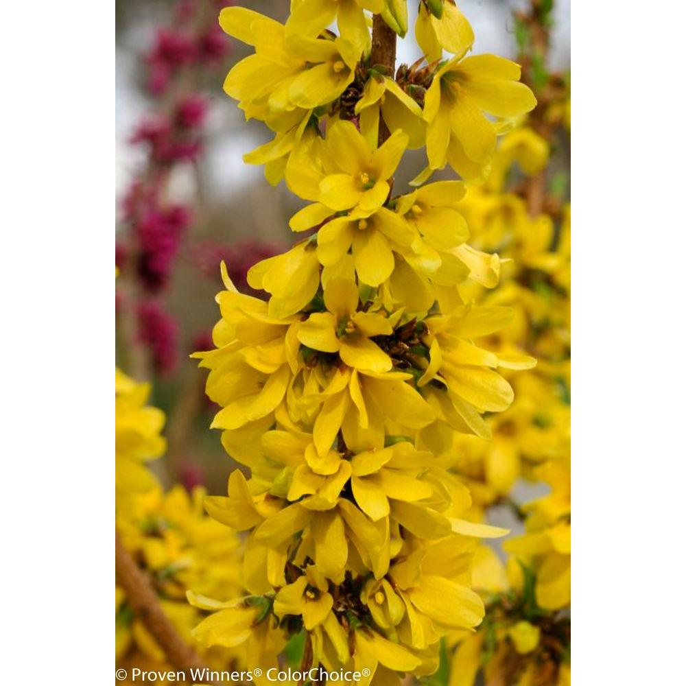 Proven Winners Show Off Starlet ColorChoice Forsythia - 4.5 in. Quart