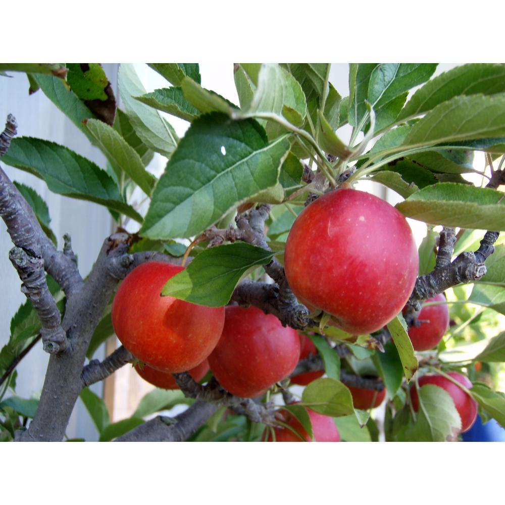 Online Orchards Dwarf Fuji Apple Tree Bare Root Ftap002 The Home Depot