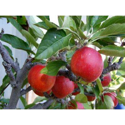 Photo Of Apple Tree With Fruit
