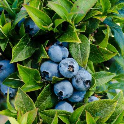 1.0 Gal Tophat Blueberry (Vaccinium), Live Fruiting Plant, White Flowers with Green Foliage (1-Pack)
