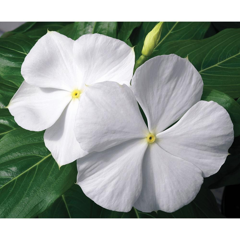 Proven winners cora white vinca catharanthus live plant white proven winners cora white vinca catharanthus live plant white flowers 425 in izmirmasajfo