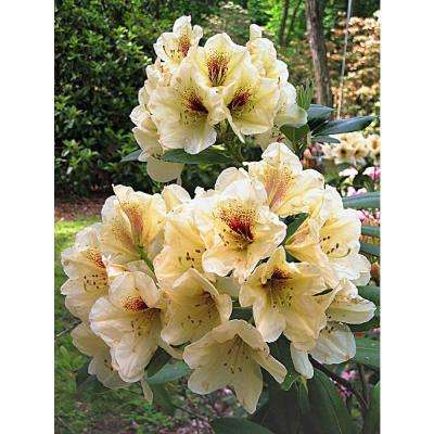 2.50 Qt. Pot Holden's Solar Flaire Rhododendron Live Broadleaf Evergreen Plant Yellow Flowers (1-Pack)
