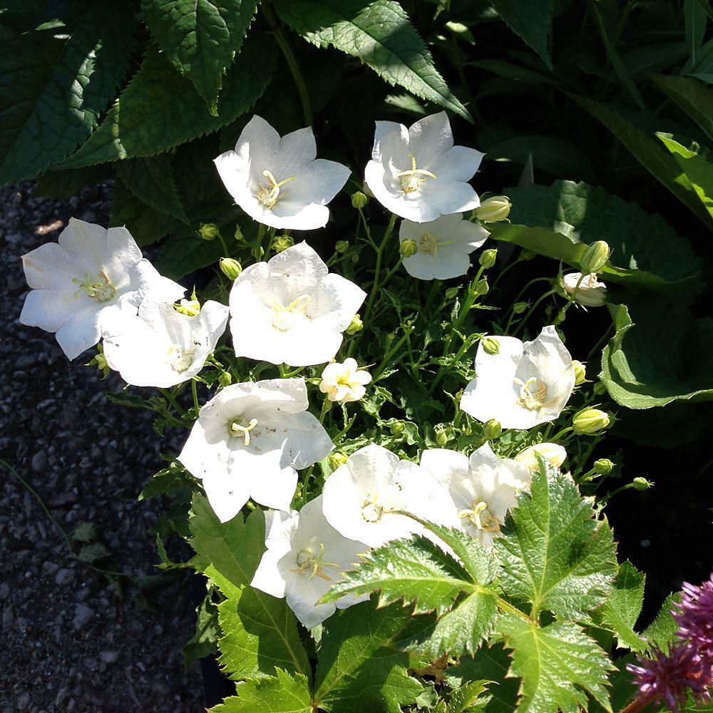 OnlinePlantCenter 1 gal. White Carpathian Bellflower Plant