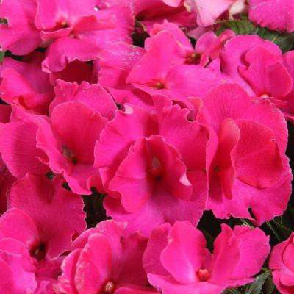 Ruffles Fuchsia Rose (New Guinea Impatiens) Live Plant, Pink Flowers, 4.25 in. Grande