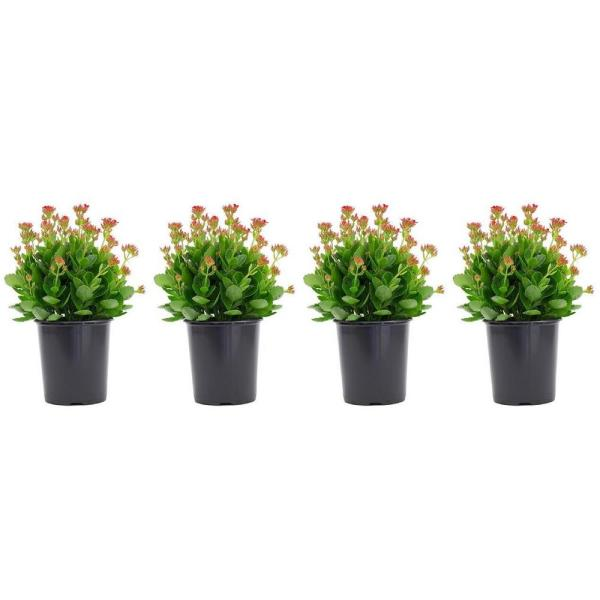 2.5 Qt. Kalanchoe Plant Red Flowers in 6.33 In. Grower's Pot (4-Plants)