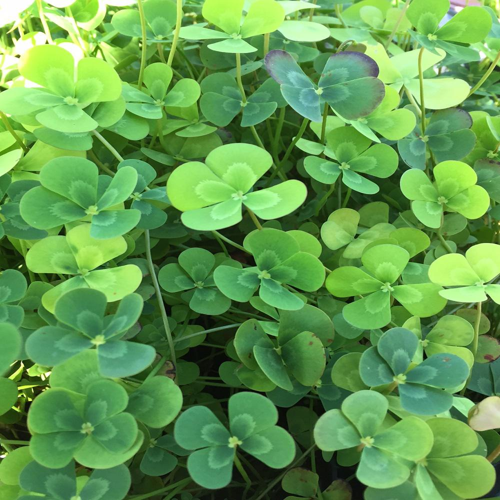 Givhandys 4 in potted variegated four leaf clover bog for Easy aquatic plants